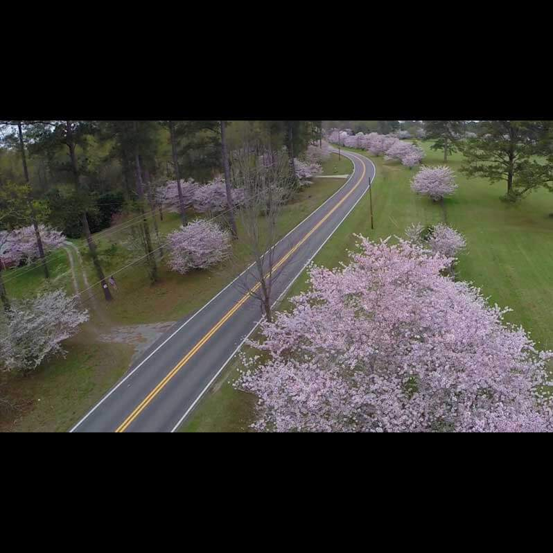 Aerial Video Footage - Cherry Blossom Festival - Image 1