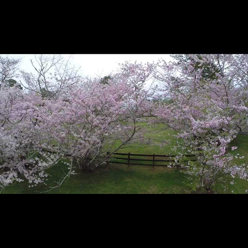 Aerial Video Footage - Cherry Blossom Festival - Image 2