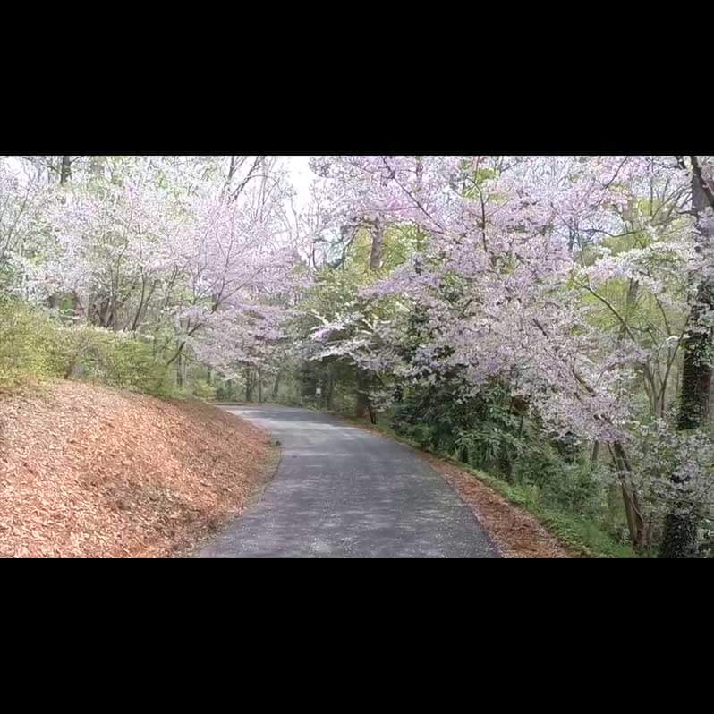 Aerial Video Footage - Cherry Blossom Festival - Image 3