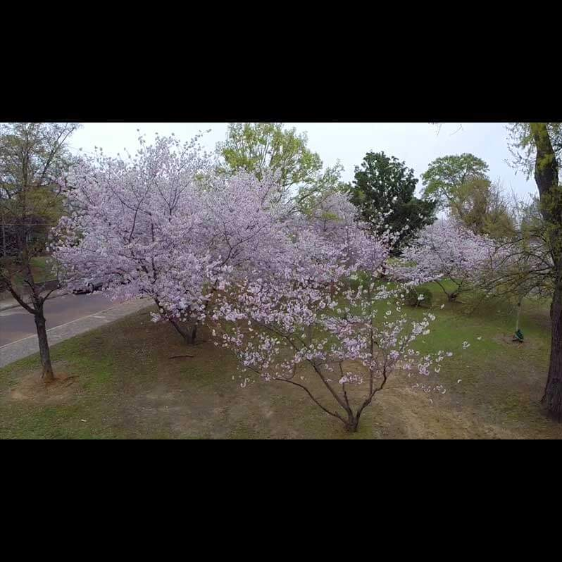 Aerial Video Footage - Cherry Blossom Festival - Image 4